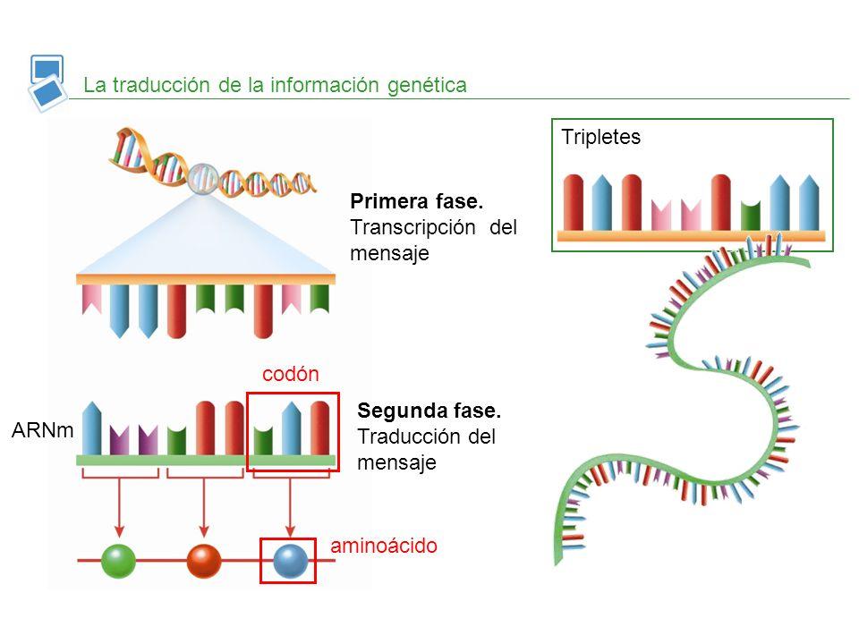 La traducción de la información genética Tripletes Primera fase. Transcripción del mensaje Segunda fase. Traducción del mensaje ARNm codón aminoácido