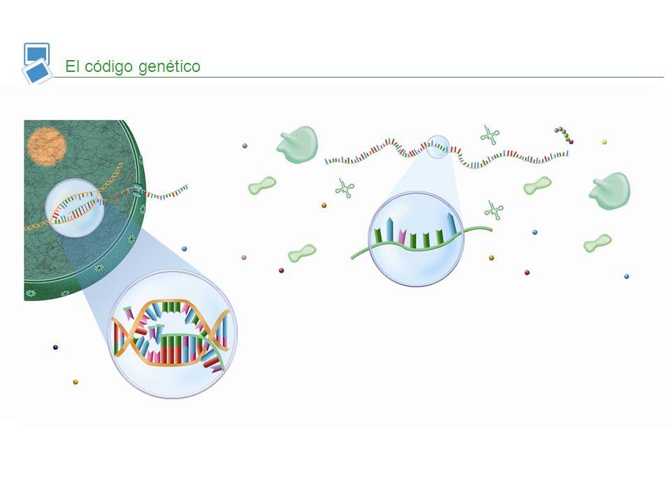 ARNm codón anticodón aminoácido La correspondencia entre los codones del ARNm y los aminoácidos que forman las proteínas recibe el nombre de código ge
