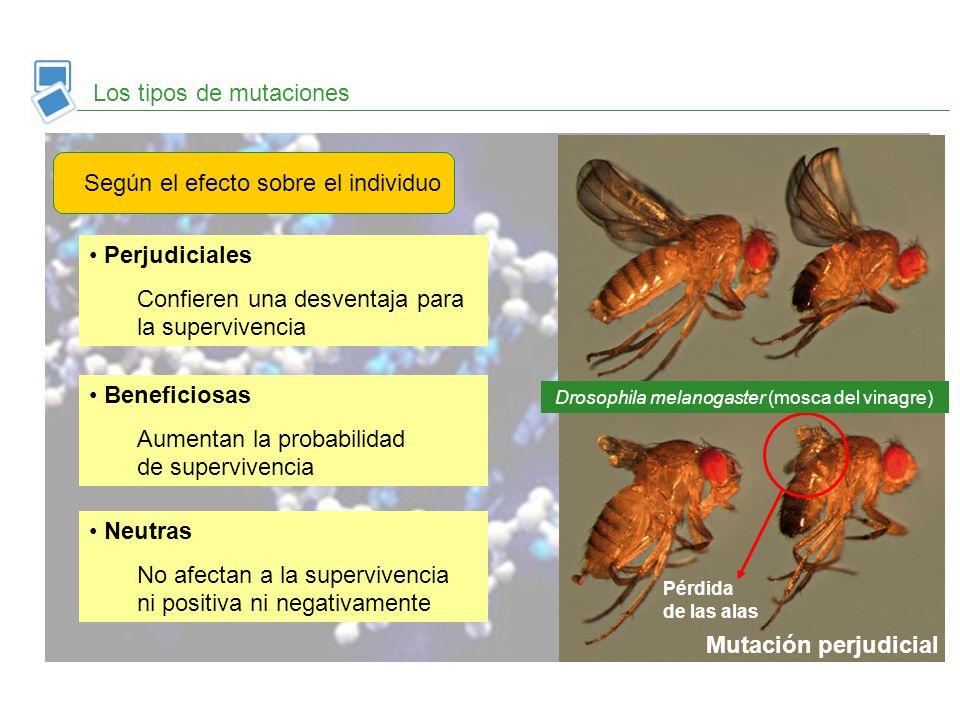 Los tipos de mutaciones Según el efecto sobre el individuo Perjudiciales Confieren una desventaja para la supervivencia Drosophila melanogaster (mosca
