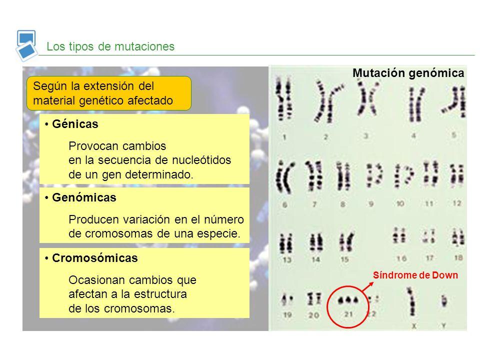 Los tipos de mutaciones Según la extensión del material genético afectado Génicas Provocan cambios en la secuencia de nucleótidos de un gen determinad