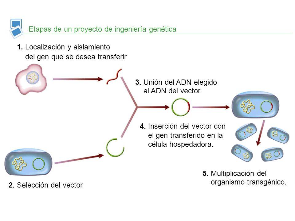 Etapas de un proyecto de ingeniería genética 1. Localización y aislamiento del gen que se desea transferir 2. Selección del vector 3. Unión del ADN el