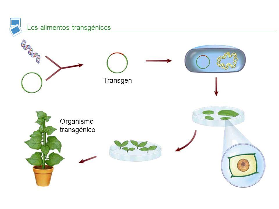 Los alimentos transgénicos Transgen Organismo transgénico