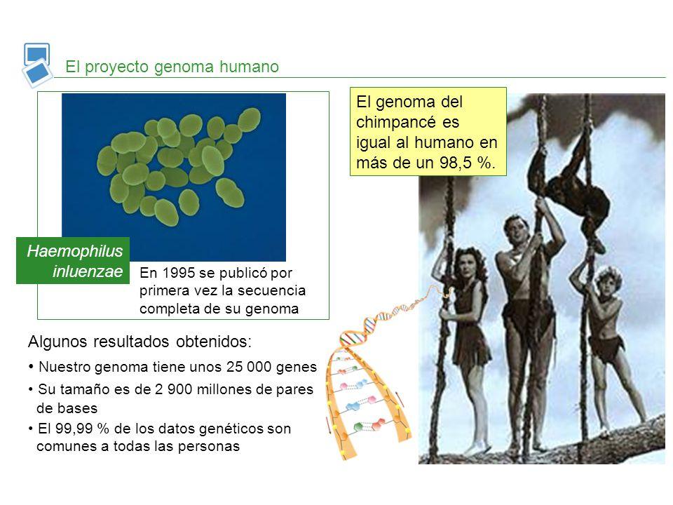 El proyecto genoma humano Haemophilus inluenzae En 1995 se publicó por primera vez la secuencia completa de su genoma El genoma del chimpancé es igual