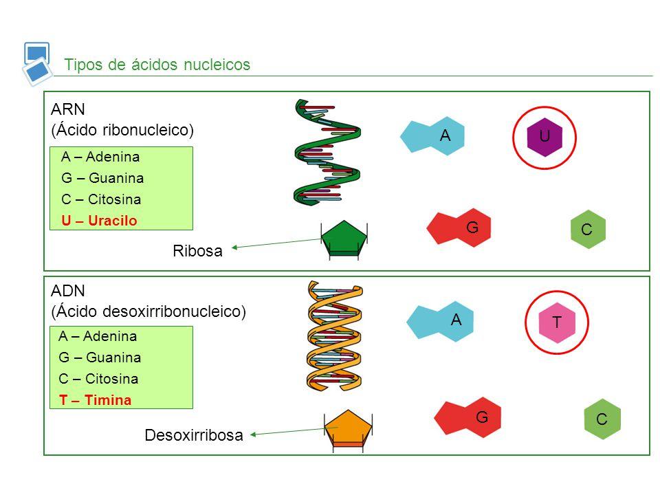 Tipos de ácidos nucleicos ARN (Ácido ribonucleico) ADN (Ácido desoxirribonucleico) A G A G U C T C Ribosa Desoxirribosa A – Adenina G – Guanina C – Ci