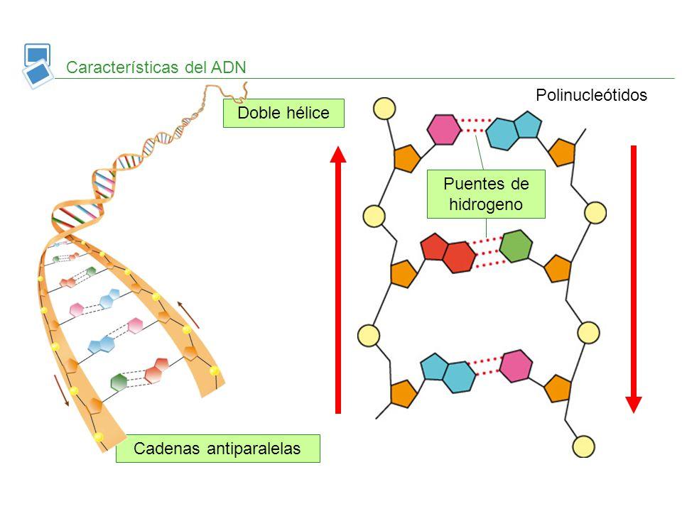Características del ADN Doble hélice Cadenas antiparalelas Puentes de hidrogeno Polinucleótidos