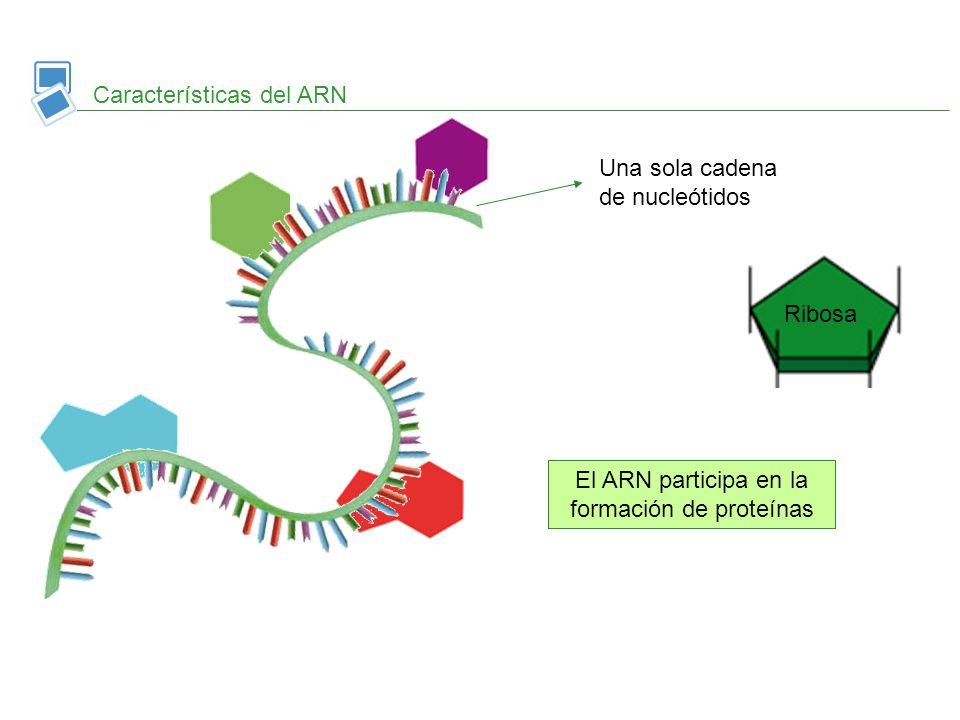 Copia información del AND y la transporta hasta los ribosomas ARN mensajero Tipos de ARN Se asocia a proteínas y forma los ribosomas ARN ribosomico Se une a aminoácidos para formar proteínas en los ribosomas ARN transferente ARNm ARNr ARNt