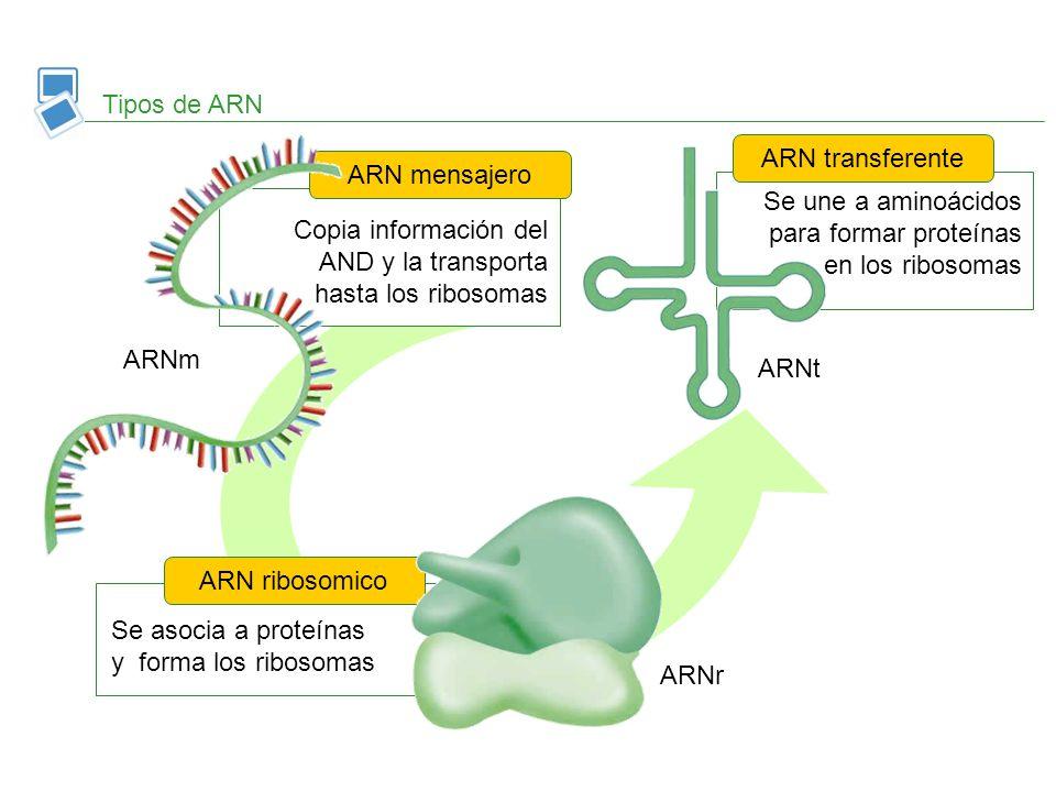 Copia información del AND y la transporta hasta los ribosomas ARN mensajero Tipos de ARN Se asocia a proteínas y forma los ribosomas ARN ribosomico Se