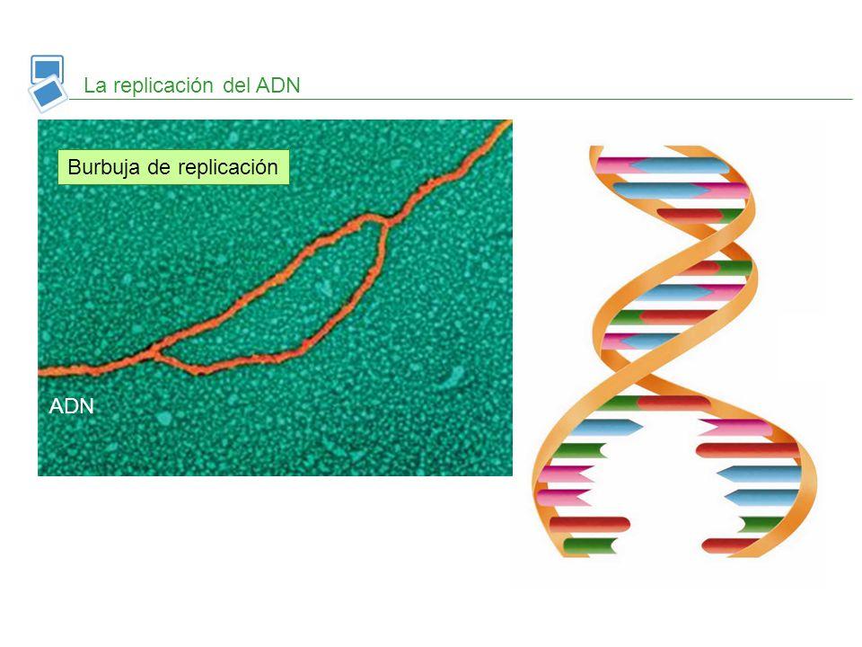 Se forman nuevos enlaces de hidrogeno y las hebras se enrollan Síntesis de nuevas cadenas complementarias Rotura de enlaces de hidrogeno La replicación del ADN Burbuja de replicación ADN