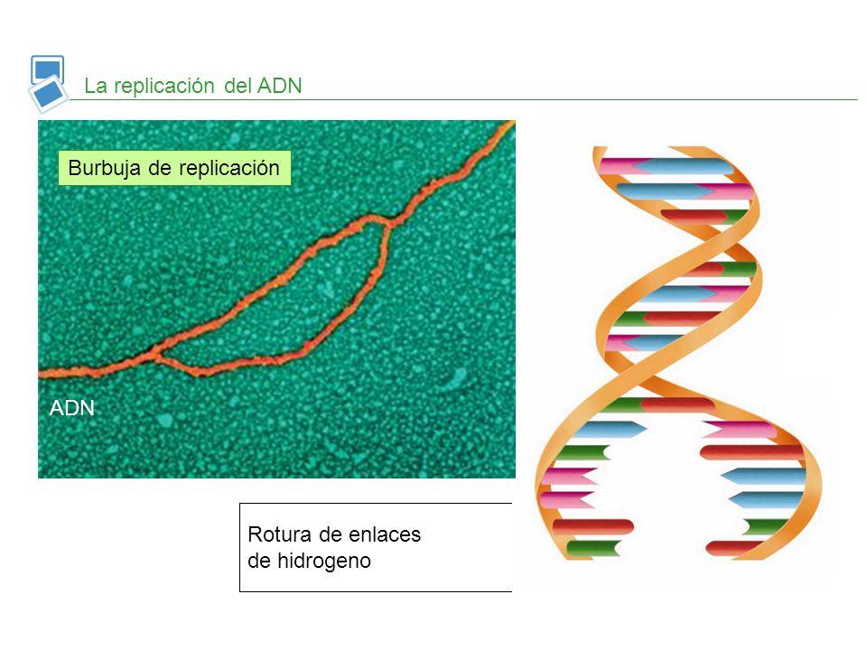 Se forman nuevos enlaces de hidrogeno y las hebras se enrollan Síntesis de nuevas cadenas complementarias Rotura de enlaces de hidrogeno La replicació