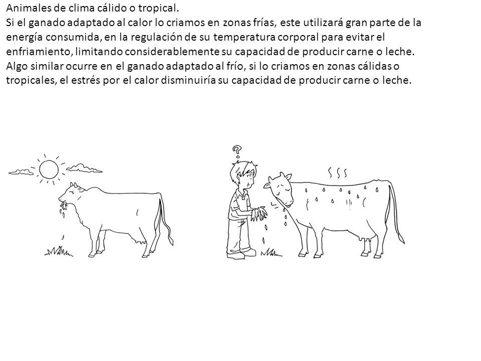 Animales de clima cálido o tropical. Si el ganado adaptado al calor lo criamos en zonas frías, este utilizará gran parte de la energía consumida, en l