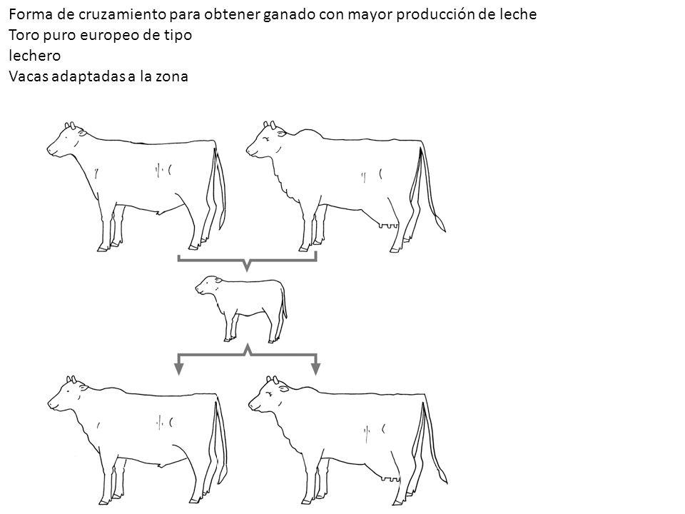 Forma de cruzamiento para obtener ganado con mayor producción de leche Toro puro europeo de tipo lechero Vacas adaptadas a la zona