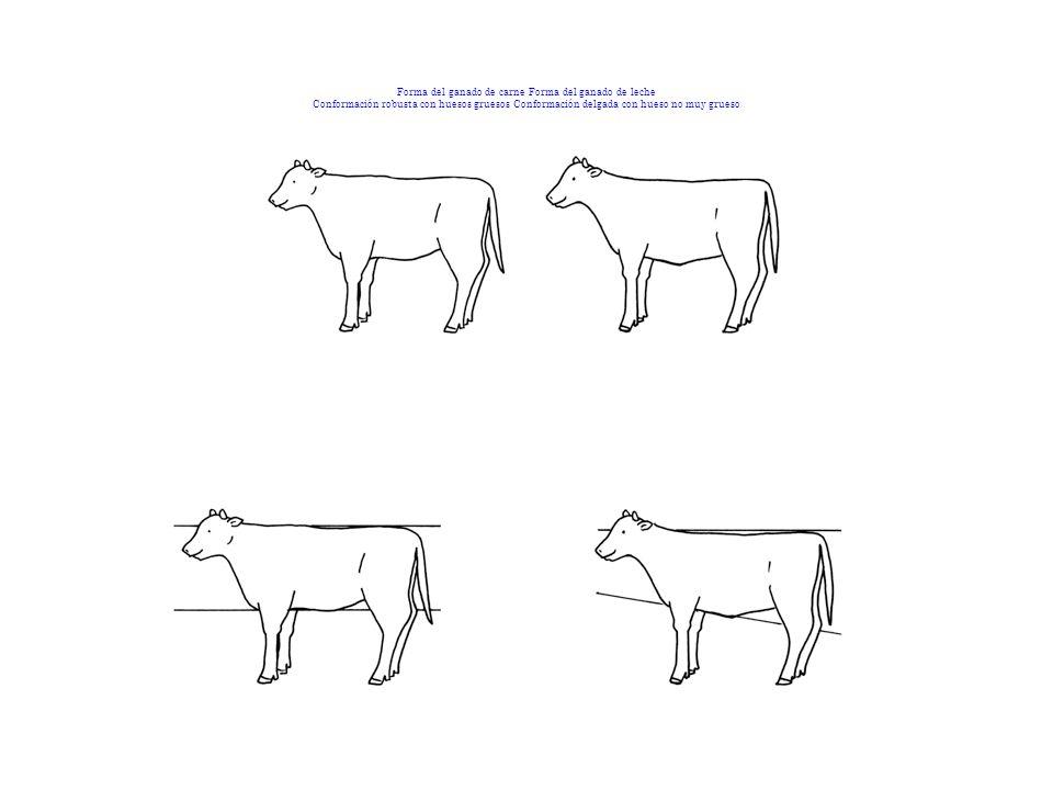 Forma del ganado de carne Forma del ganado de leche Conformación robusta con huesos gruesos Conformación delgada con hueso no muy grueso