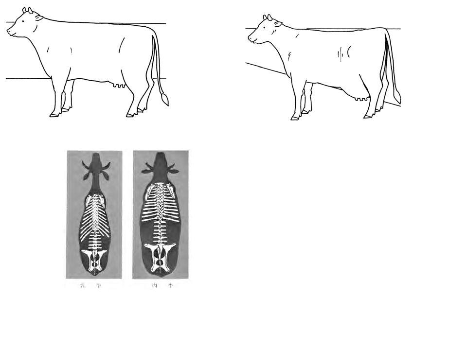 (2) Producción de leche Los nutrientes que consume el ganado de carne, son almacenados en el cuerpo en forma de carne y grasa; mientras que el ganado de leche utiliza los nutrientes que consume, para producir leche.