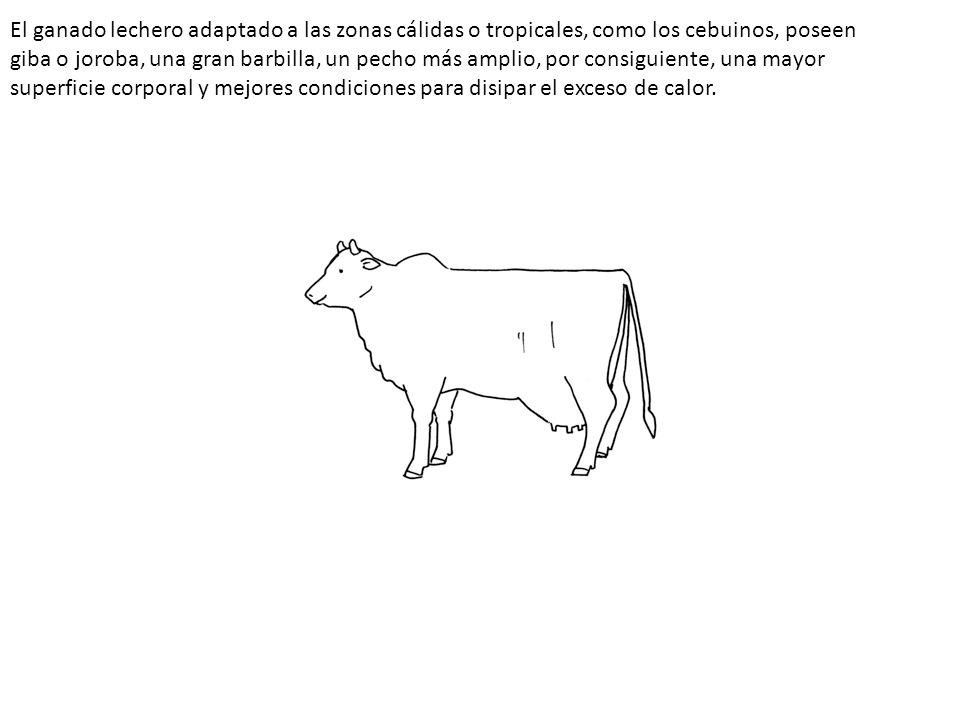 El ganado lechero adaptado a las zonas cálidas o tropicales, como los cebuinos, poseen giba o joroba, una gran barbilla, un pecho más amplio, por consiguiente, una mayor superficie corporal y mejores condiciones para disipar el exceso de calor.