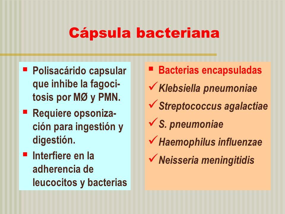 Cápsula bacteriana Polisacárido capsular que inhibe la fagoci- tosis por MØ y PMN. Requiere opsoniza- ción para ingestión y digestión. Interfiere en l