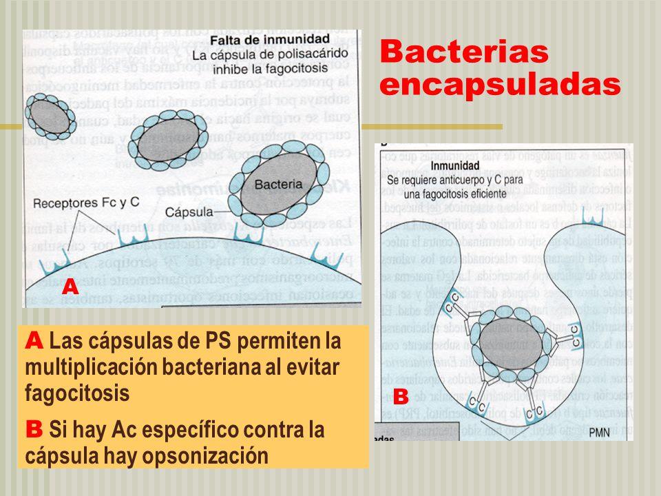 Bacterias encapsuladas A Las cápsulas de PS permiten la multiplicación bacteriana al evitar fagocitosis B Si hay Ac específico contra la cápsula hay o