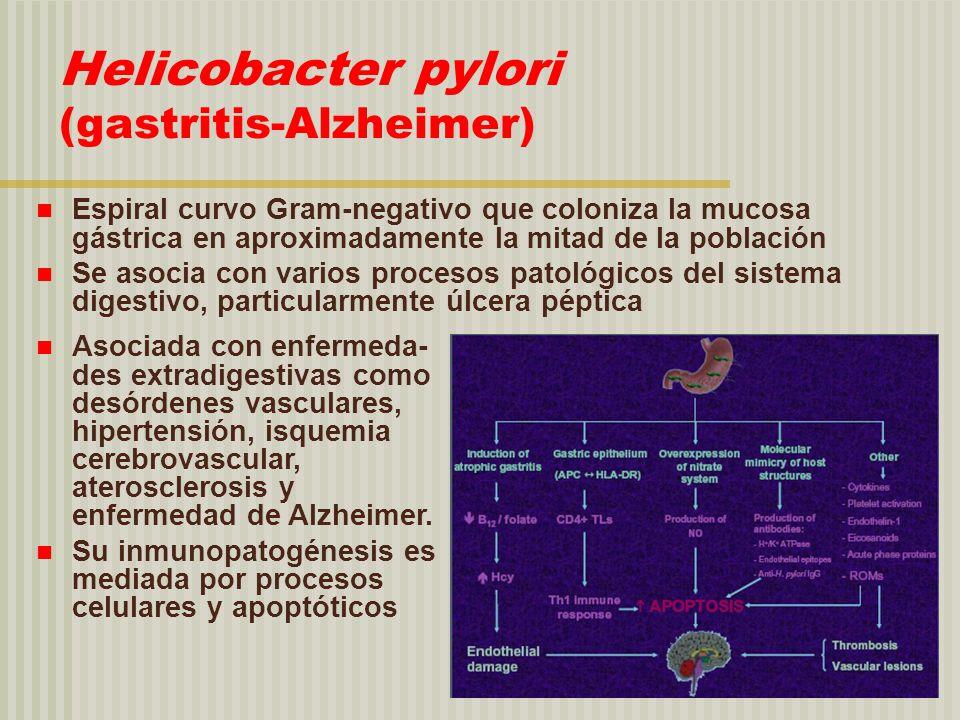 Helicobacter pylori (gastritis-Alzheimer) Espiral curvo Gram-negativo que coloniza la mucosa gástrica en aproximadamente la mitad de la población Se a