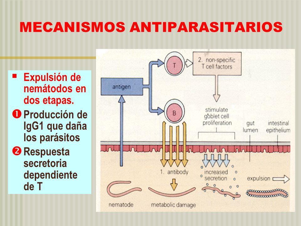MECANISMOS ANTIPARASITARIOS Expulsión de nemátodos en dos etapas. Producción de IgG1 que daña los parásitos Respuesta secretoria dependiente de T