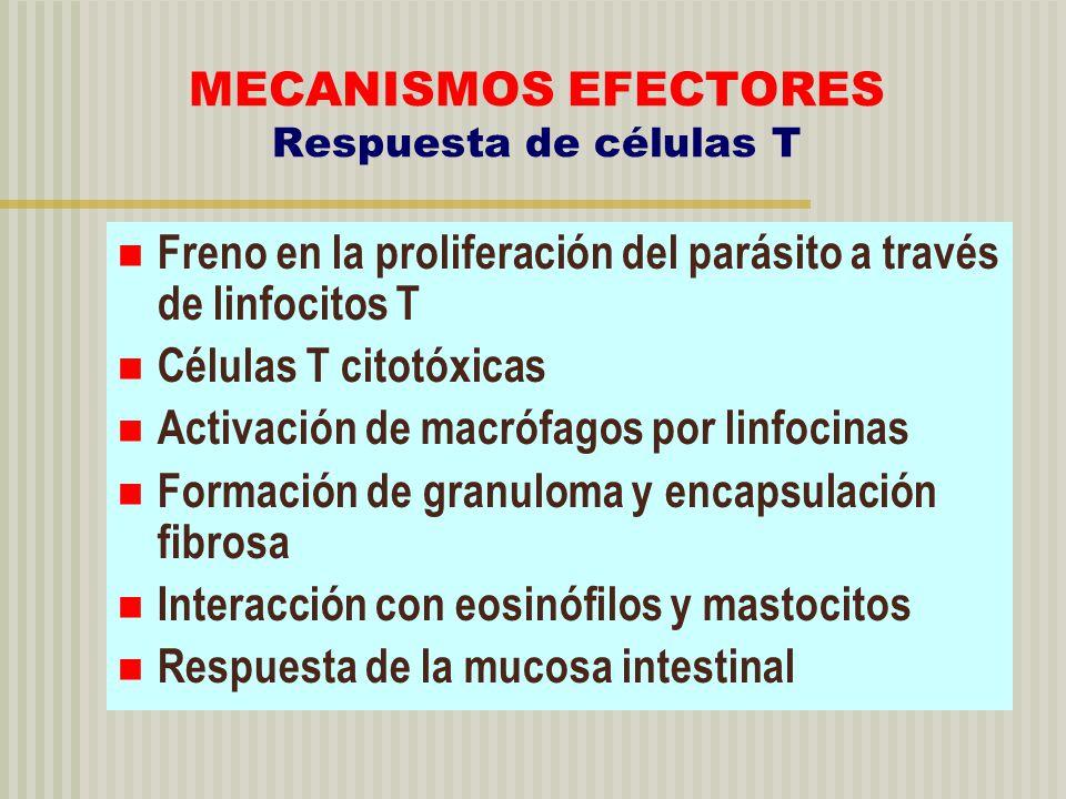 MECANISMOS EFECTORES Respuesta de células T Freno en la proliferación del parásito a través de linfocitos T Células T citotóxicas Activación de macróf