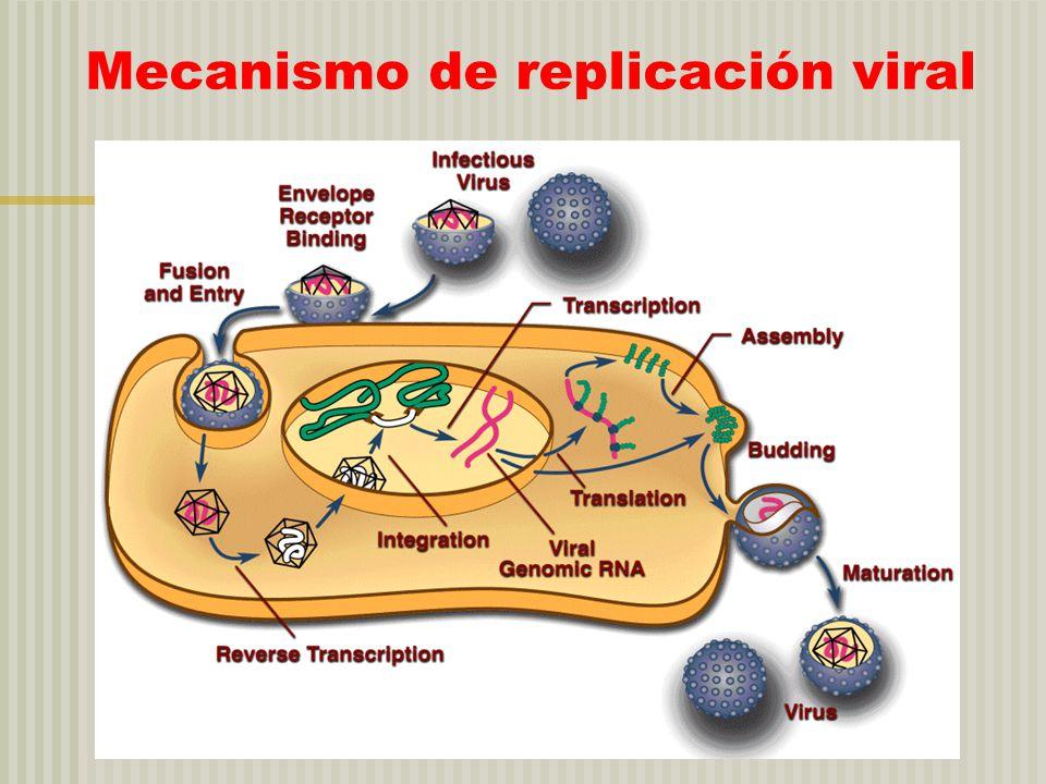 Defensa antiviral INTERFERON La infección viral induce IF que al liberarse se une a receptores de IF en otras células.