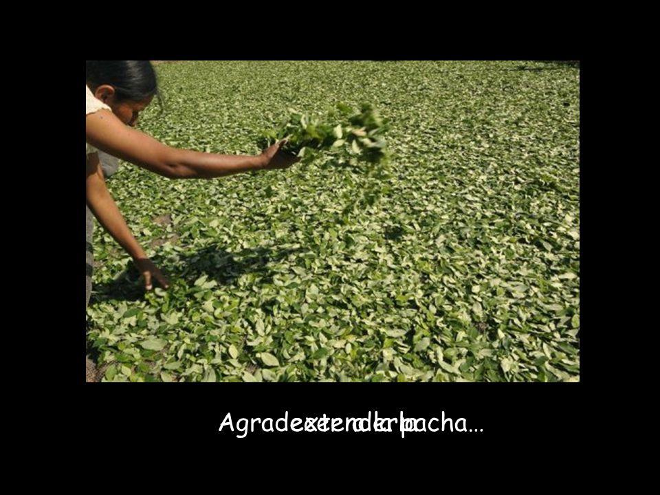 sembrar coca… cosechar…