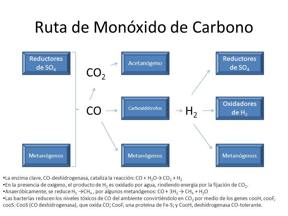 Metanogénesis a partir de la celulosa En muchos ambientes anóxicos los precursores inmediatos del metano son el H 2 y el CO 2 que se generan por las actividades de los organismos fermentadores.