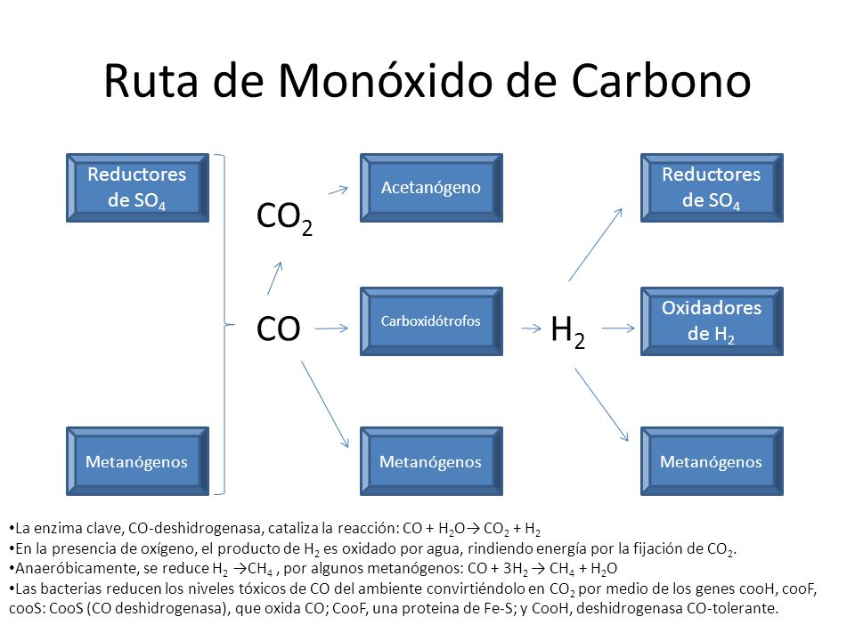 Ruta de Monóxido de Carbono Reductores de SO 4 Metanógenos Carboxidótrofos Acetanógeno Metanógenos Oxidadores de H 2 Reductores de SO 4 CO La enzima c