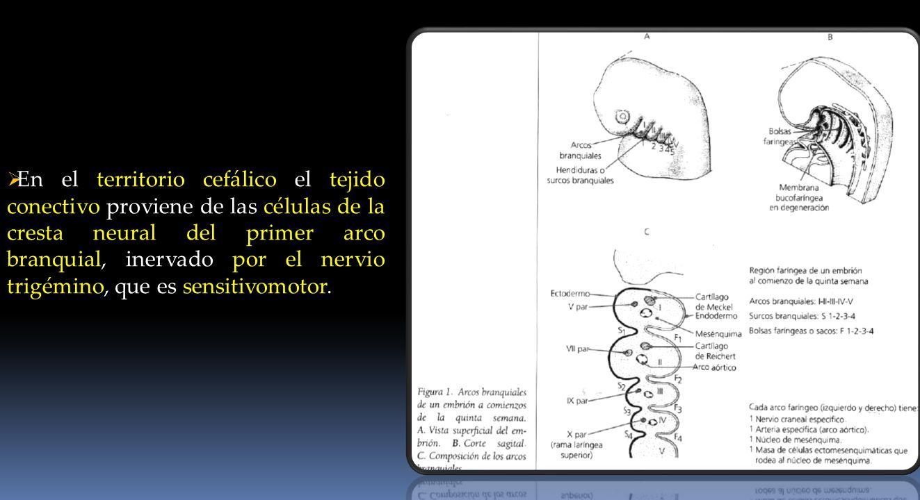 En el territorio cefálico el tejido conectivo proviene de las células de la cresta neural del primer arco branquial, inervado por el nervio trigémino,