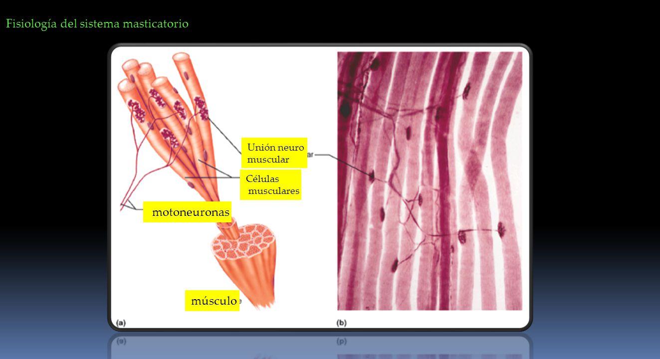 Fisiología del sistema masticatorio Unión neuro muscular Células musculares motoneuronas músculo