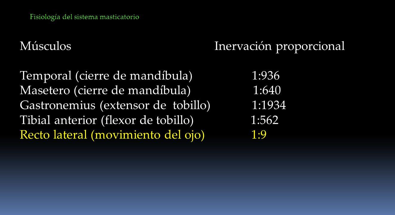 Fisiología del sistema masticatorio Músculos Inervación proporcional Temporal (cierre de mandíbula) 1:936 Masetero (cierre de mandíbula) 1:640 Gastron