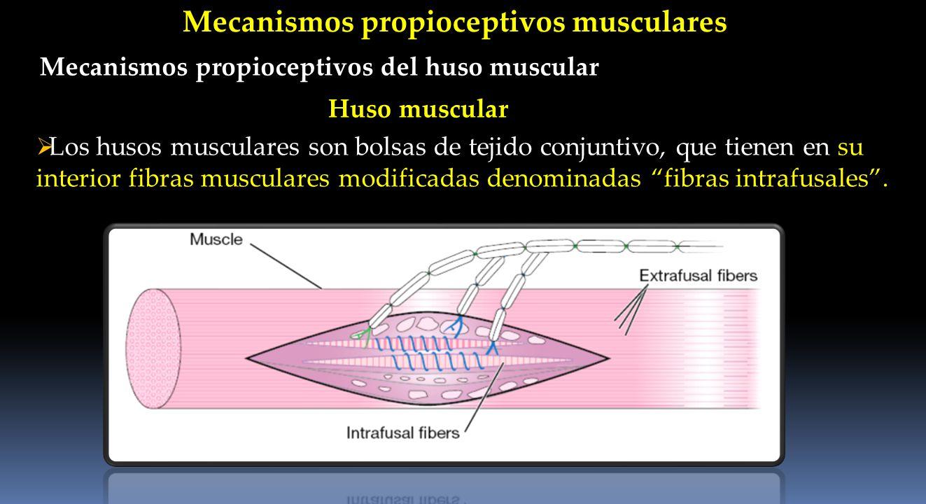 Mecanismos propioceptivos musculares Mecanismos propioceptivos del huso muscular Los husos musculares son bolsas de tejido conjuntivo, que tienen en s