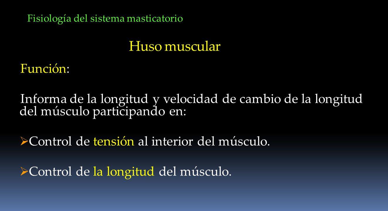 Huso muscular Función: Informa de la longitud y velocidad de cambio de la longitud del músculo participando en: Control de tensión al interior del mús