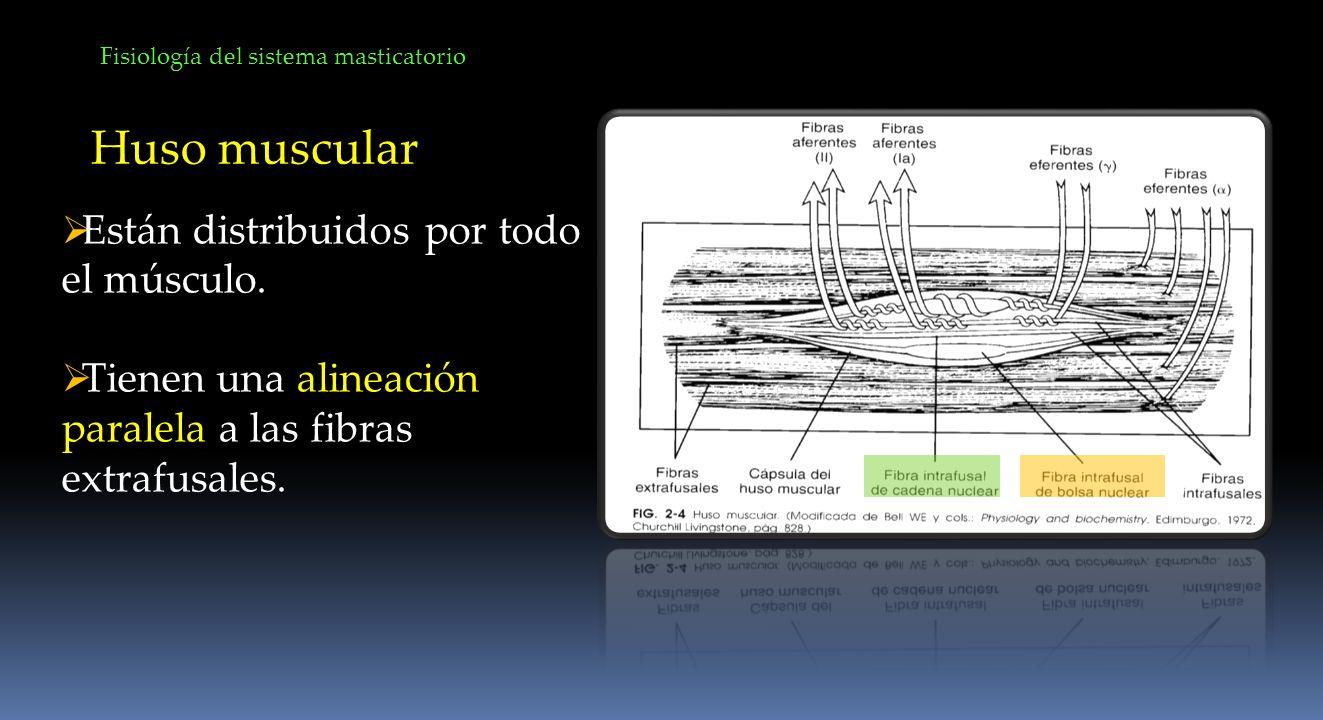 Fisiología del sistema masticatorio Huso muscular Están distribuidos por todo el músculo. Tienen una alineación paralela a las fibras extrafusales.