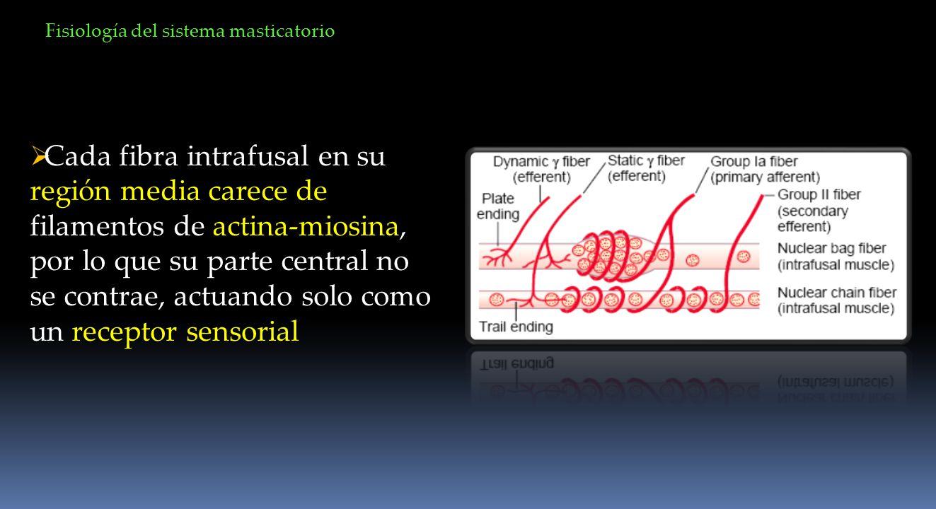 Cada fibra intrafusal en su región media carece de filamentos de actina-miosina, por lo que su parte central no se contrae, actuando solo como un rece