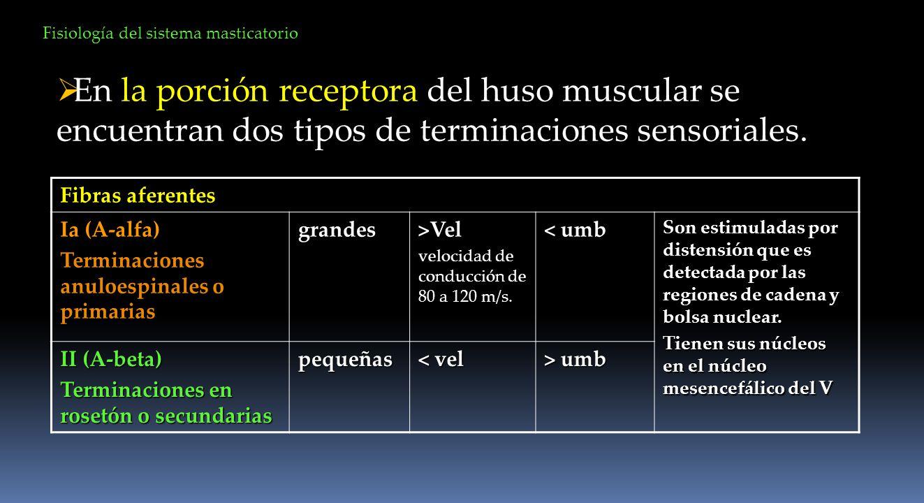 En la porción receptora del huso muscular se encuentran dos tipos de terminaciones sensoriales. Fibras aferentes Ia (A-alfa) Terminaciones anuloespina