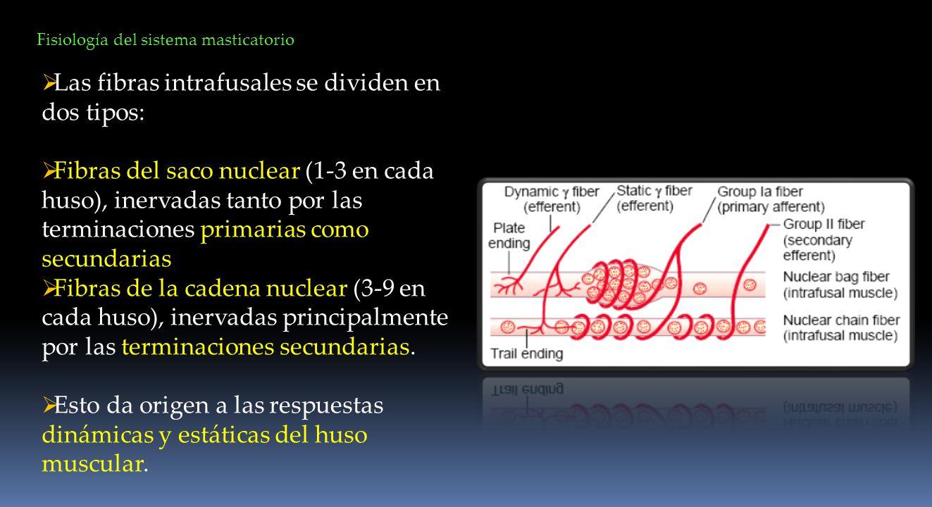 Las fibras intrafusales se dividen en dos tipos: Fibras del saco nuclear (1-3 en cada huso), inervadas tanto por las terminaciones primarias como secu
