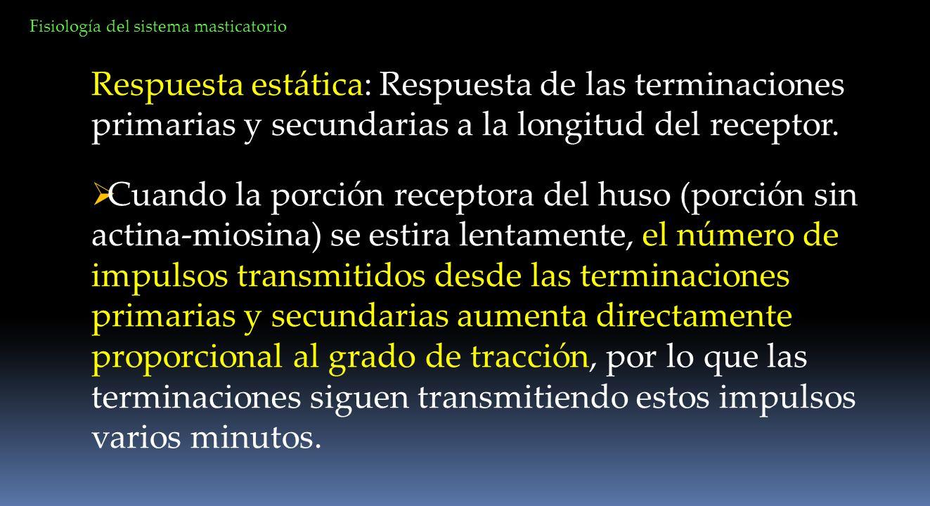 Respuesta estática: Respuesta de las terminaciones primarias y secundarias a la longitud del receptor. Cuando la porción receptora del huso (porción s
