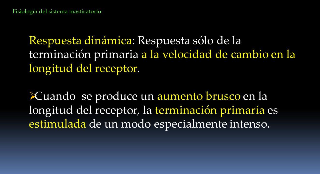 Respuesta dinámica: Respuesta sólo de la terminación primaria a la velocidad de cambio en la longitud del receptor. Cuando se produce un aumento brusc