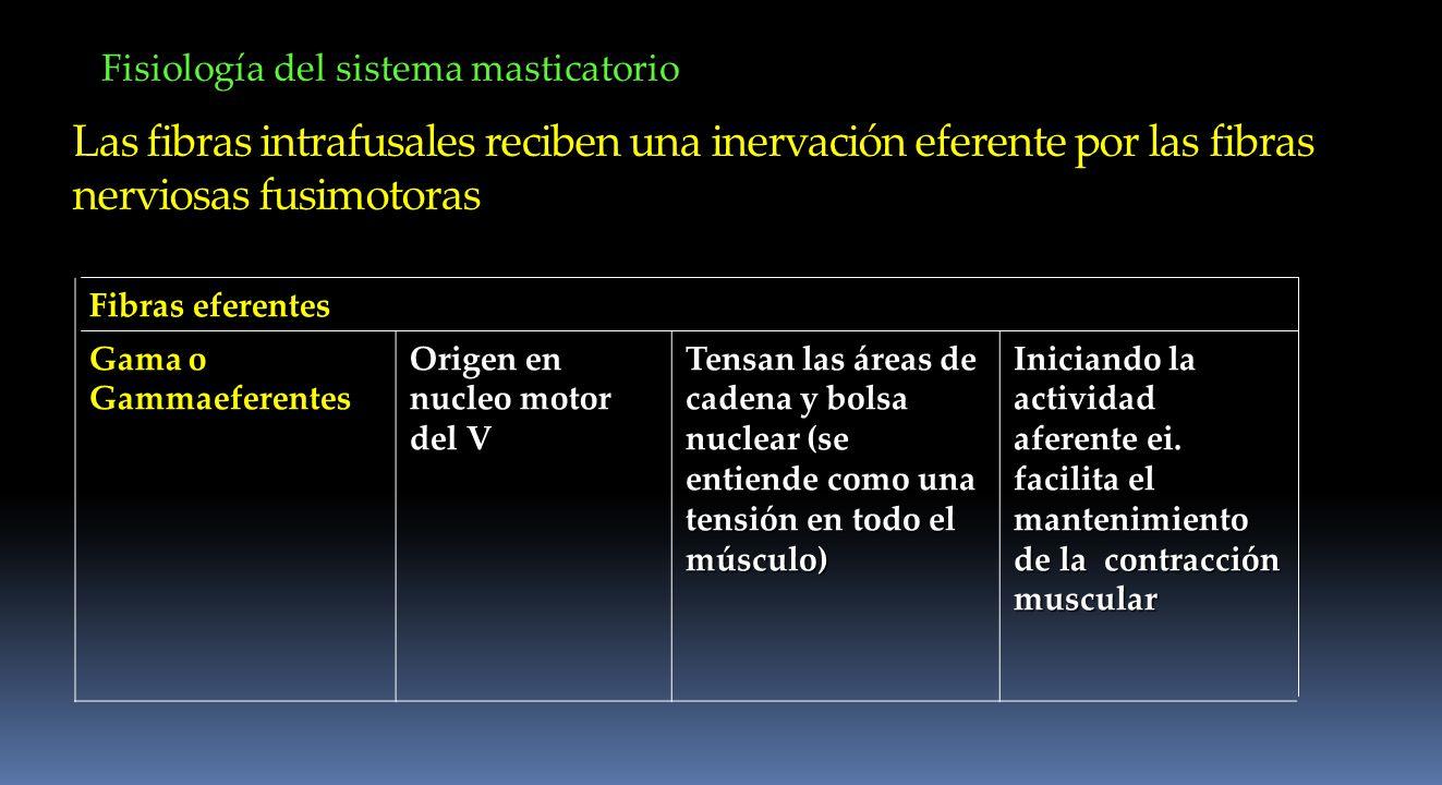 Fisiología del sistema masticatorio Las fibras intrafusales reciben una inervación eferente por las fibras nerviosas fusimotoras Fibras eferentes Gama