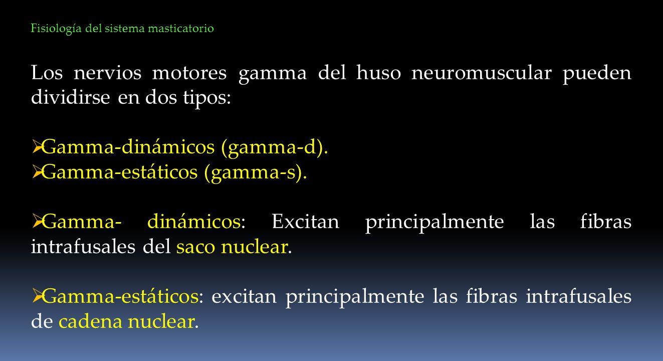 Fisiología del sistema masticatorio Los nervios motores gamma del huso neuromuscular pueden dividirse en dos tipos: Gamma-dinámicos (gamma-d). Gamma-e