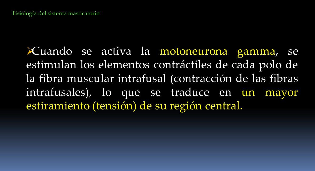 Fisiología del sistema masticatorio Cuando se activa la motoneurona gamma, se estimulan los elementos contráctiles de cada polo de la fibra muscular i