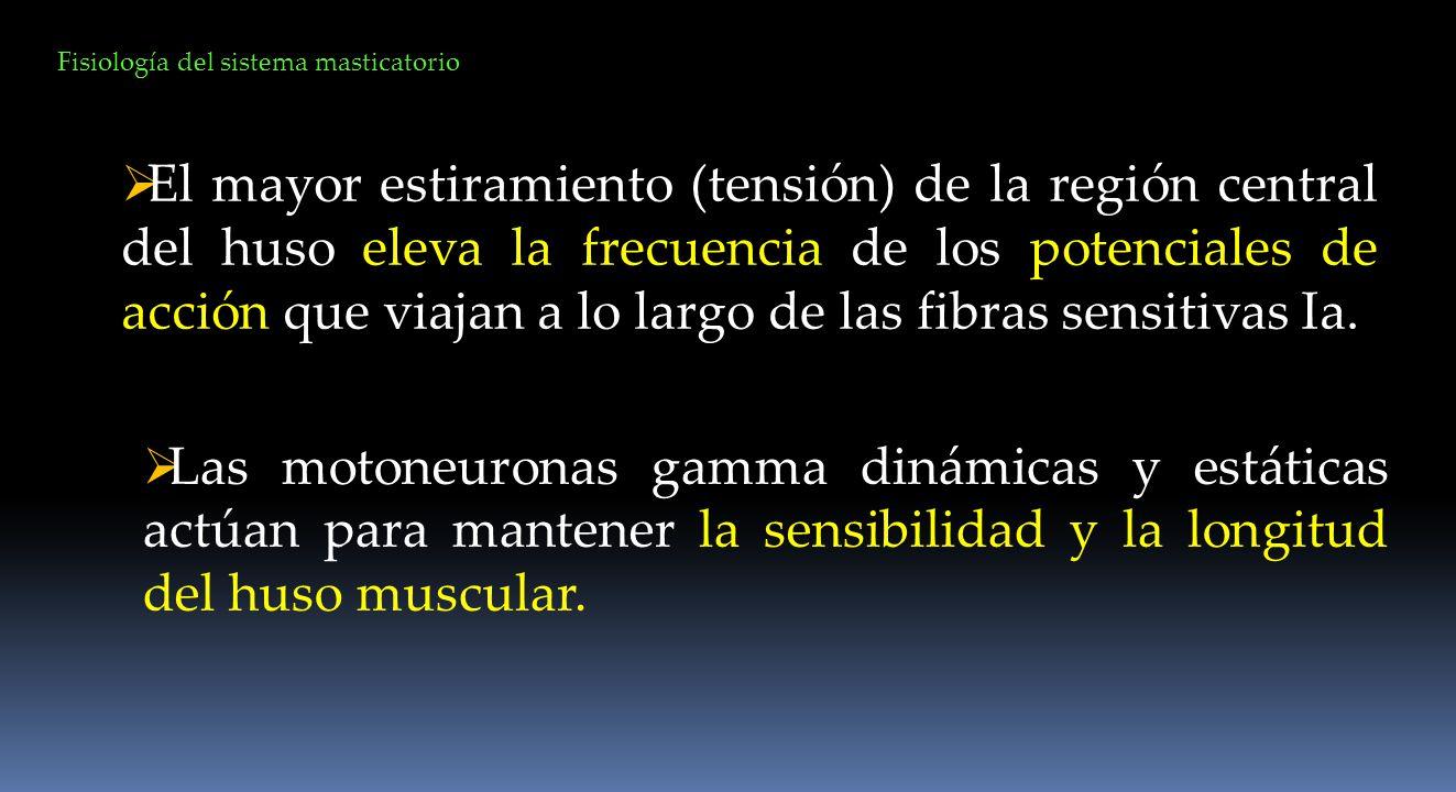 Fisiología del sistema masticatorio El mayor estiramiento (tensión) de la región central del huso eleva la frecuencia de los potenciales de acción que