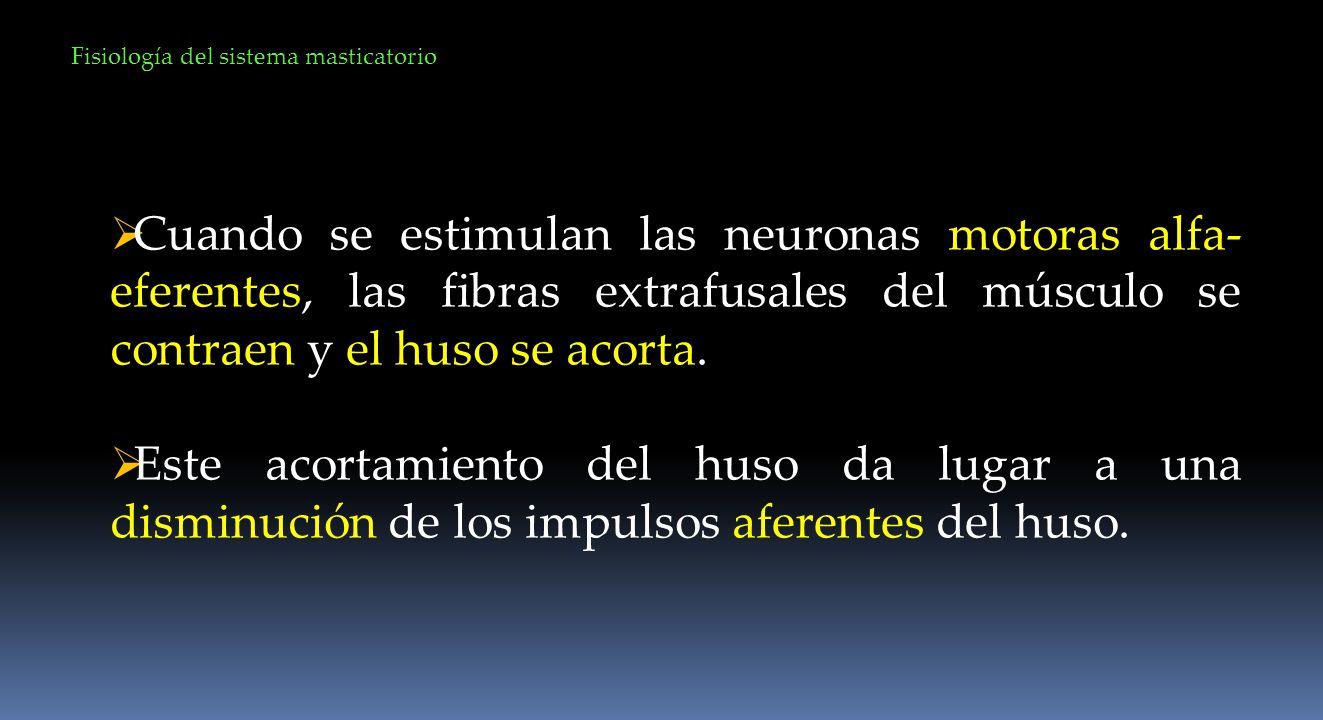 Fisiología del sistema masticatorio Cuando se estimulan las neuronas motoras alfa- eferentes, las fibras extrafusales del músculo se contraen y el hus