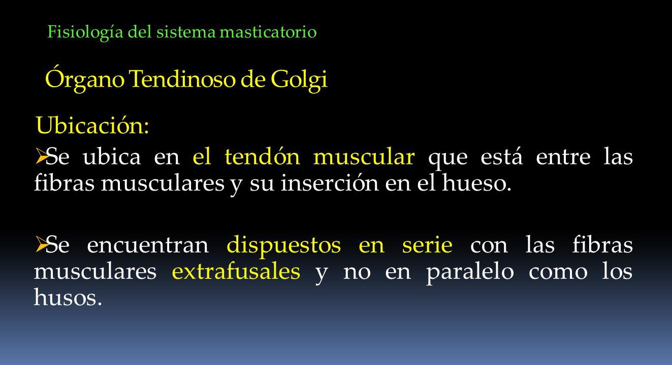 Fisiología del sistema masticatorio Órgano Tendinoso de Golgi Ubicación: Se ubica en el tendón muscular que está entre las fibras musculares y su inse