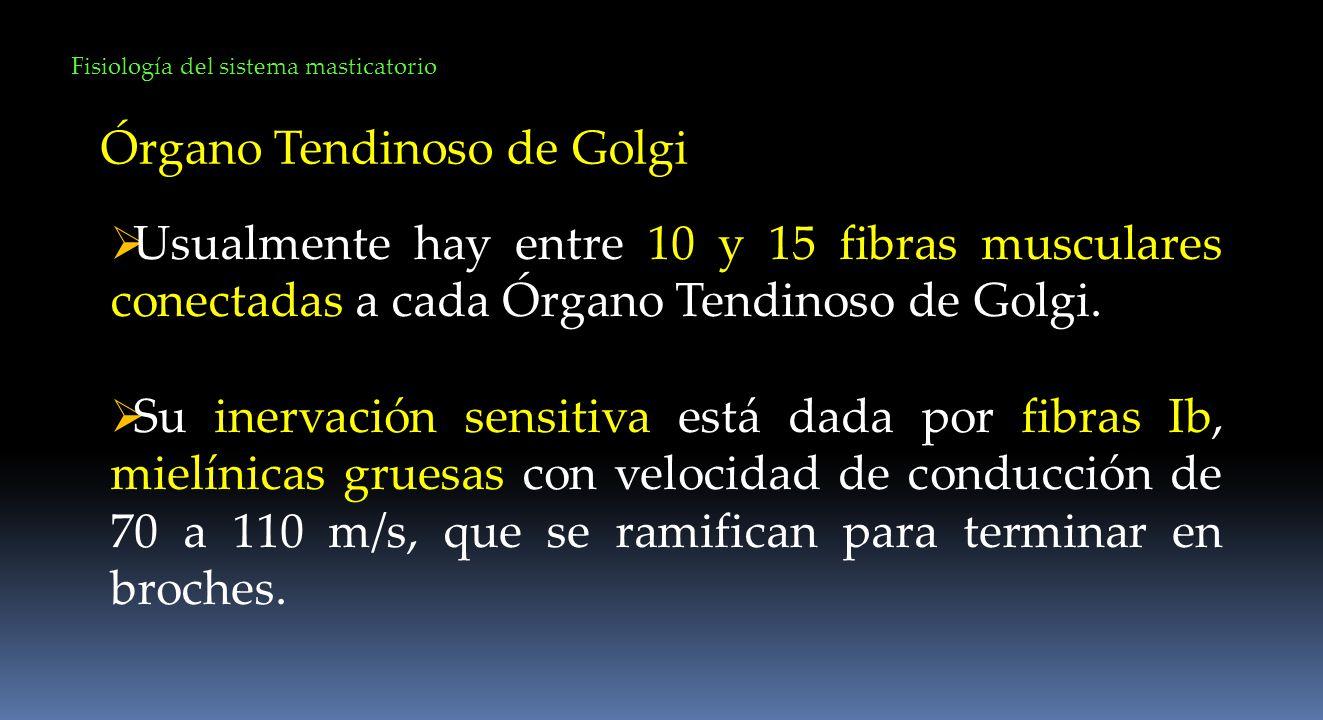 Fisiología del sistema masticatorio Órgano Tendinoso de Golgi Usualmente hay entre 10 y 15 fibras musculares conectadas a cada Órgano Tendinoso de Gol