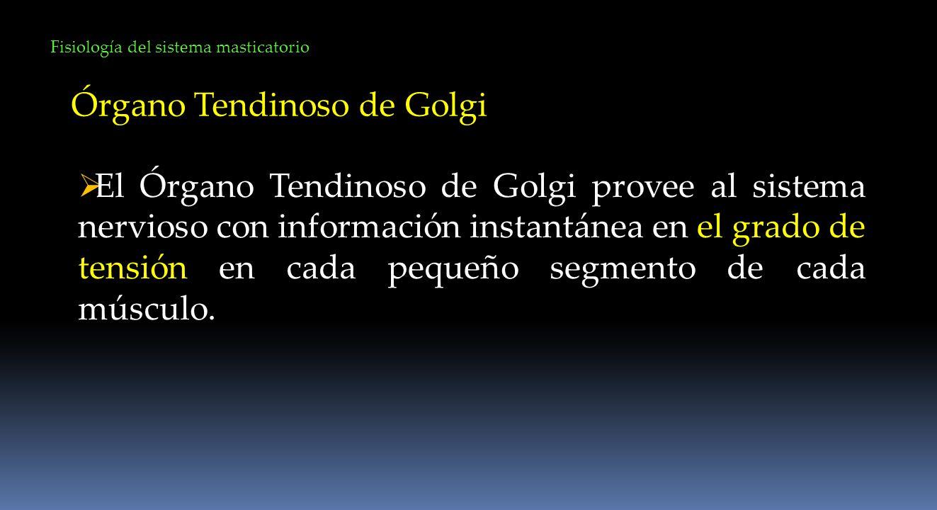 Fisiología del sistema masticatorio Órgano Tendinoso de Golgi El Órgano Tendinoso de Golgi provee al sistema nervioso con información instantánea en e