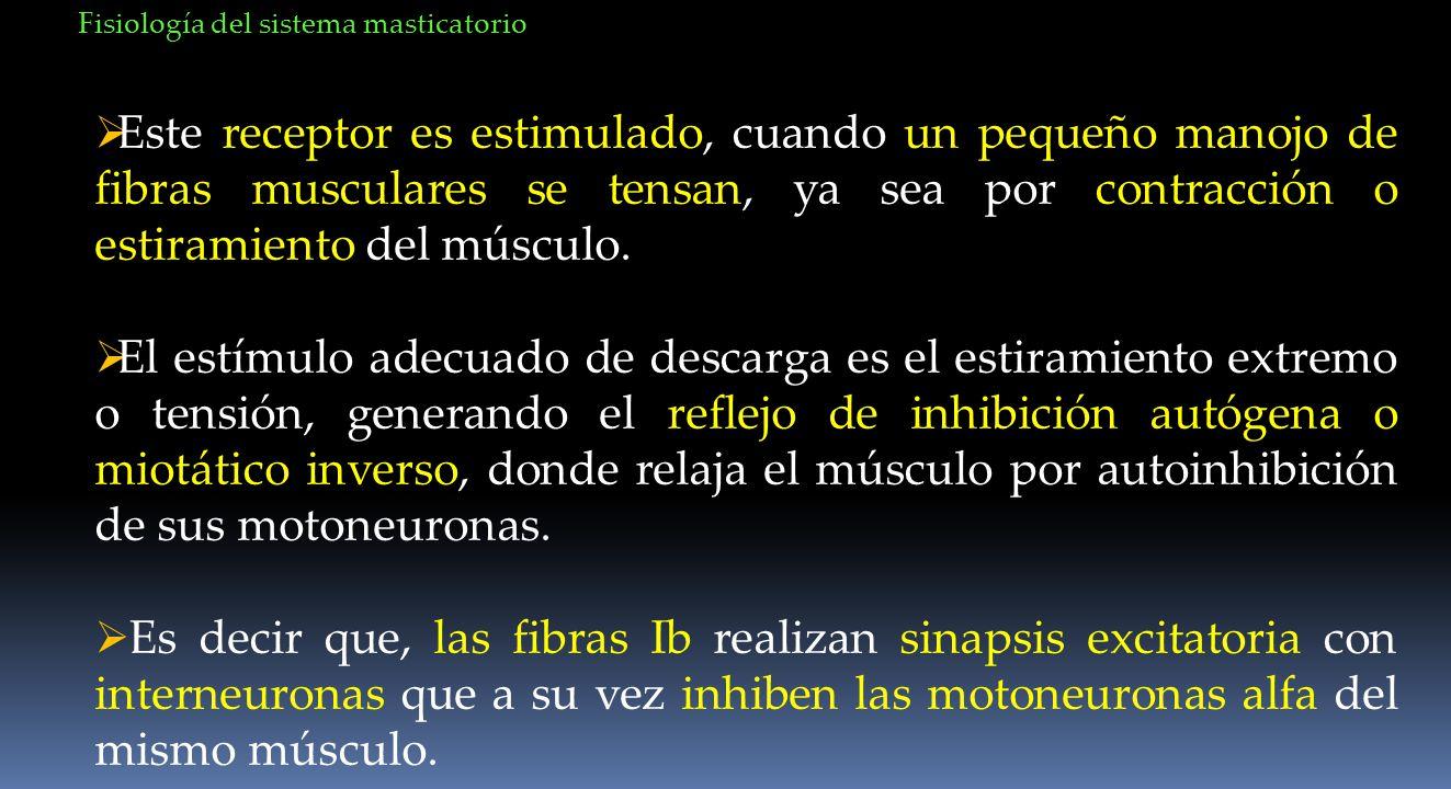 Este receptor es estimulado, cuando un pequeño manojo de fibras musculares se tensan, ya sea por contracción o estiramiento del músculo. El estímulo a