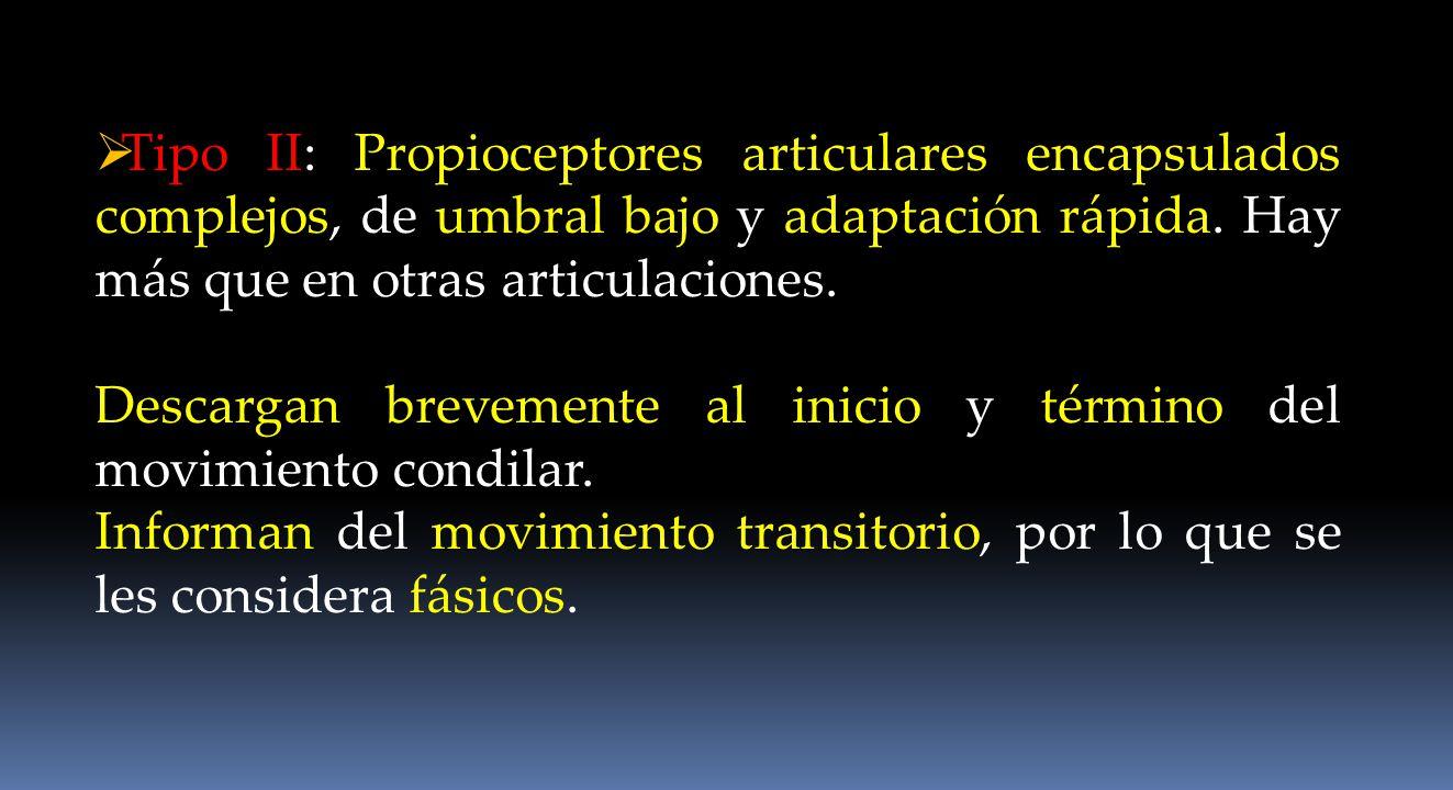 Tipo II: Propioceptores articulares encapsulados complejos, de umbral bajo y adaptación rápida. Hay más que en otras articulaciones. Descargan breveme