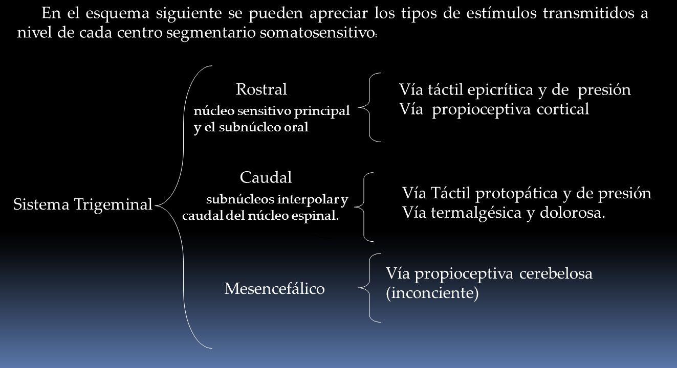 Sistema Trigeminal En el esquema siguiente se pueden apreciar los tipos de estímulos transmitidos a nivel de cada centro segmentario somatosensitivo :