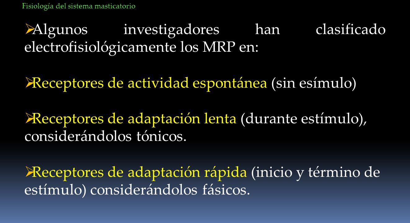Algunos investigadores han clasificado electrofisiológicamente los MRP en: Receptores de actividad espontánea (sin esímulo) Receptores de adaptación l
